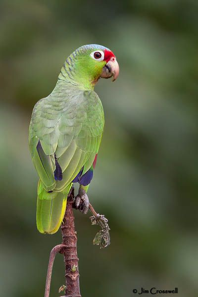 1000+ images about Birds*Parrot and parakeet on Pinterest.