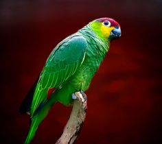 Subspecies Lilacine Amazon (Amazona autumnalis lilacina)..