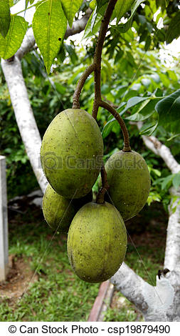 Stock Photographs of Ambarella fruit.