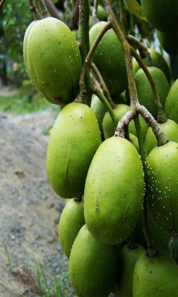 June Plum/Golden Apple Tree.