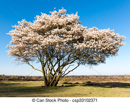 Picture of Blooming serviceberry, Amelanchier lamarckii, Holland.