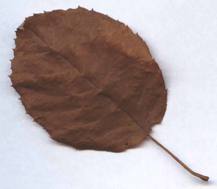 earxagangnad: free oak tree clip art.