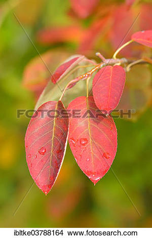 "Stock Photo of ""Allegheny Serviceberry (Amelanchier laevis."