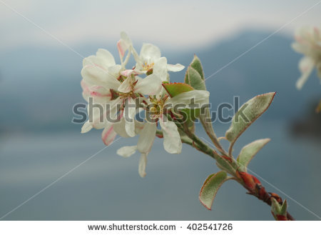 Mespilus Stock Photos, Royalty.