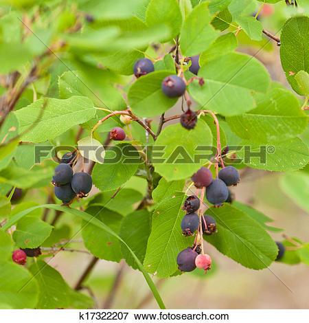 Picture of Ripe Saskatoon Berries Amelanchier alnifolia k17322207.