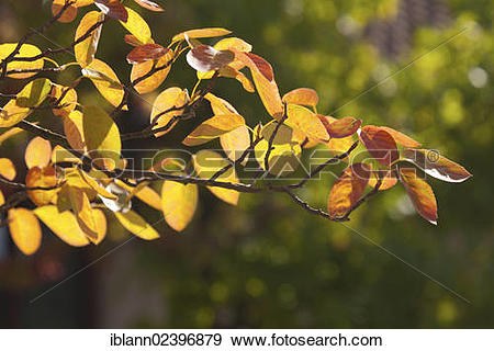 "Stock Photograph of ""Wild pear, Juneberry (Amelanchier), colorful."