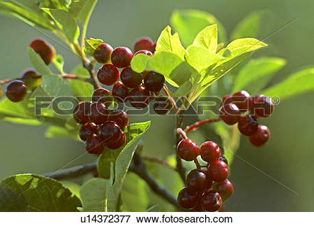 Picture of Saskatoon berries (Amelanchier alnifolia), Alberta.
