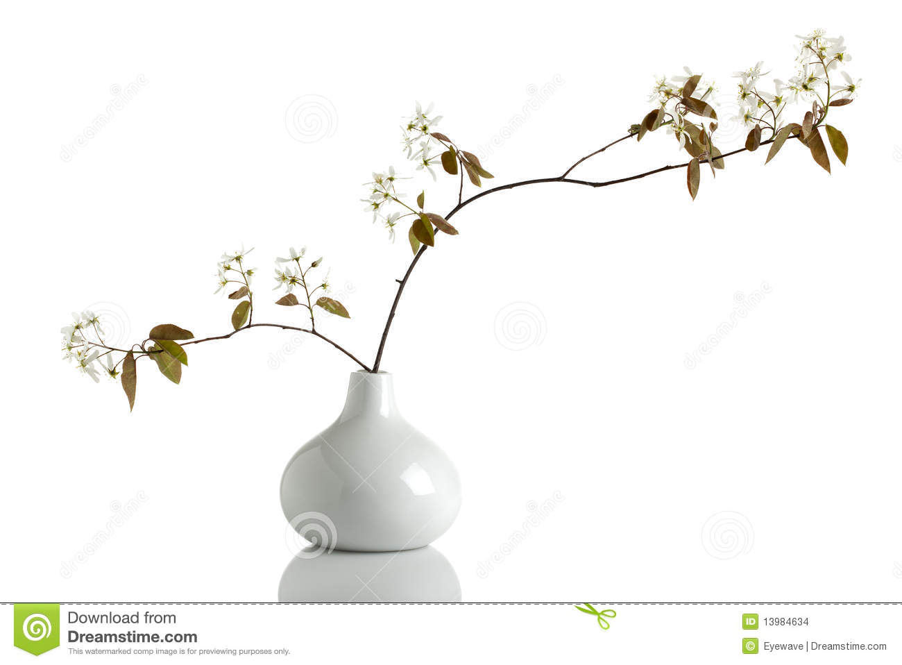 Blooming Juneberry Branch, Amelanchier Ovalis Stock Photo.