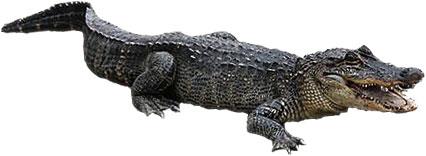 Free Alligator Animations.