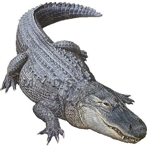 American Alligator Clipart.