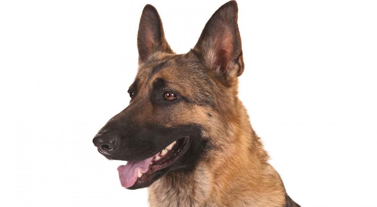 German Shepherd (GSD) Dog Breed Information.