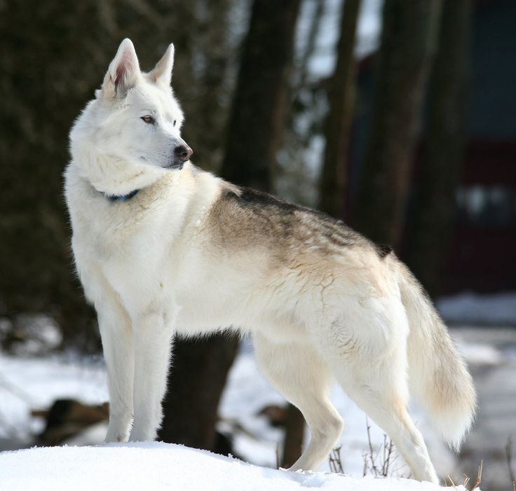 17 Best ideas about Dire Wolf on Pinterest.