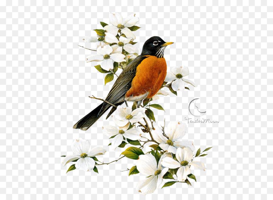 Robin Bird clipart.