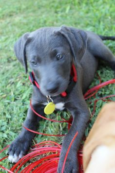 Blue Lacy puppy! One day.