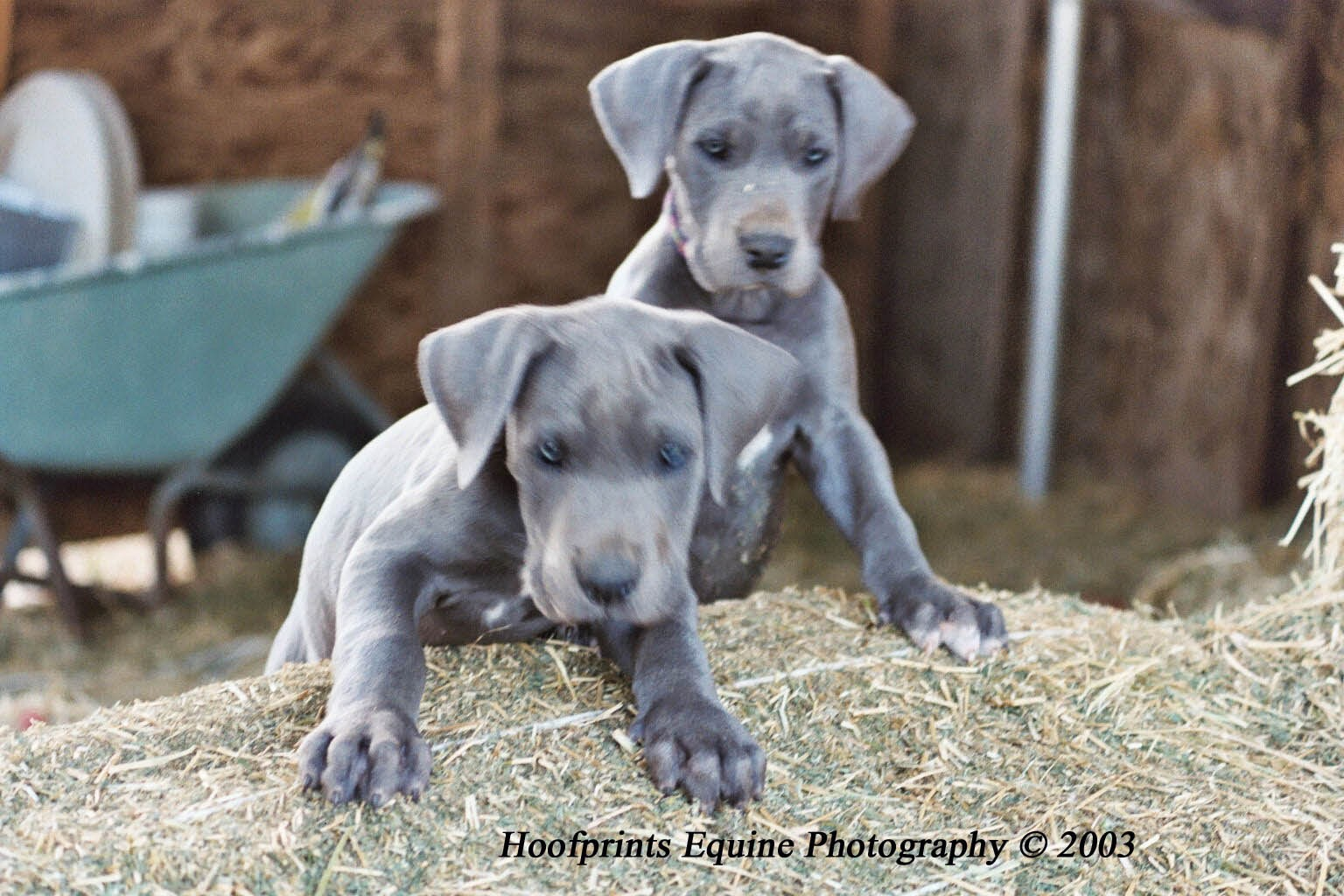 Rules of the Jungle: Great Dane puppies.