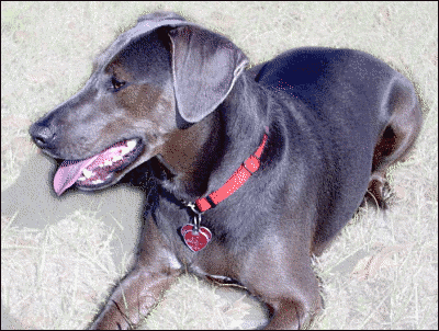 Blue Lacy Dog Clipart.