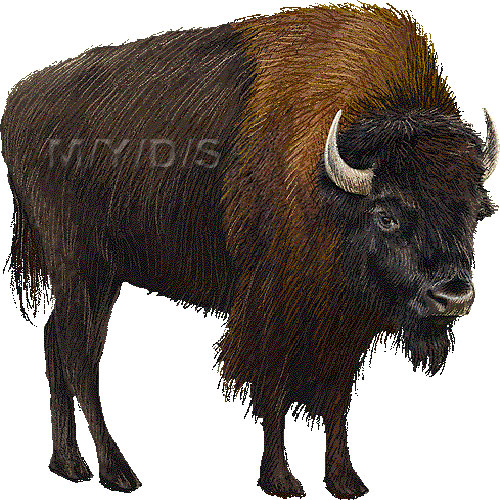 American Bison, American buffalo clipart graphics (Free clip art.