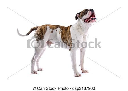 American bulldog Images and Stock Photos. 739 American bulldog.
