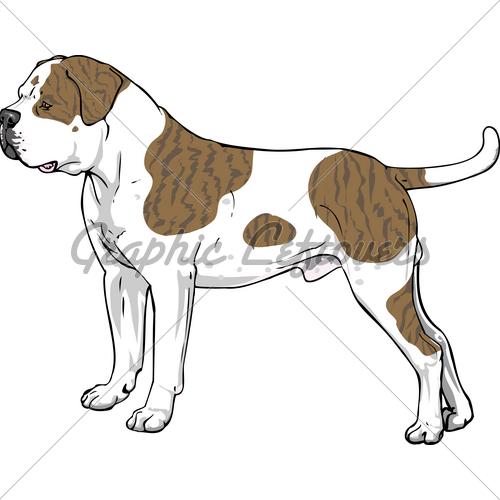 American Bulldog · GL Stock Images.