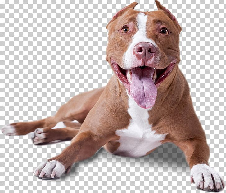 American Pit Bull Terrier American Bully American Staffordshire.