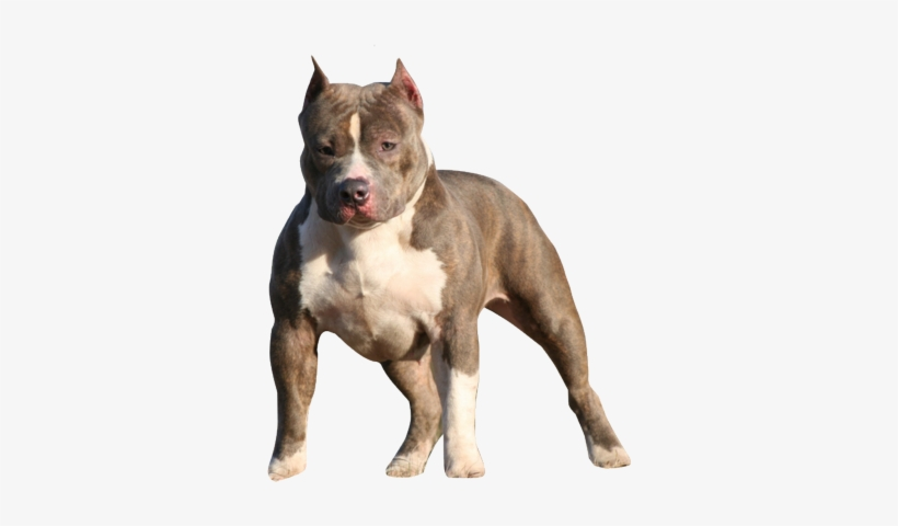 Pitbull Puppy Png Psd Detail.