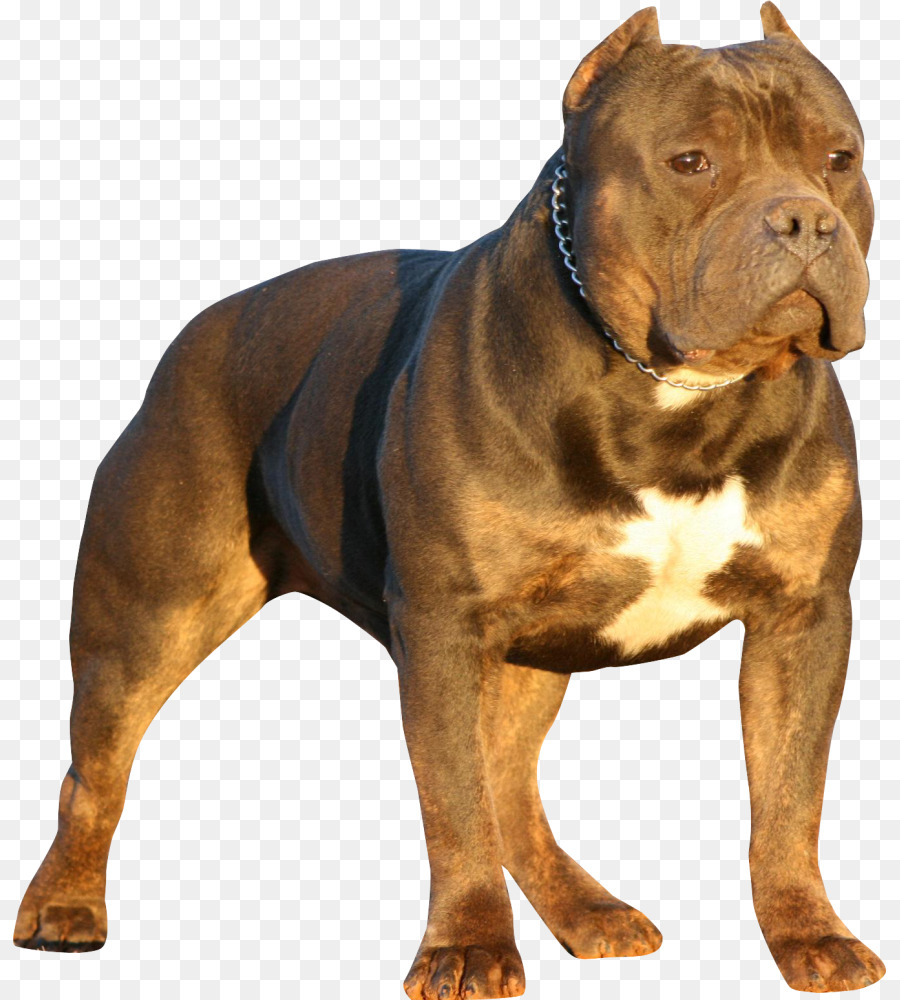 American Bully Dog png download.