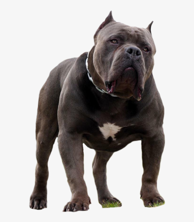 Casino American Bully PNG Image.