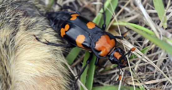 American Burying Beetle.