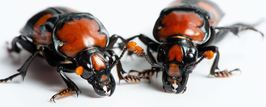 Conservation strategies for the American burying beetle.