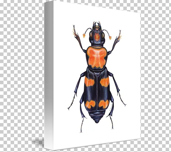 American Burying Beetle Yellow Garden Spider Animal Stag.