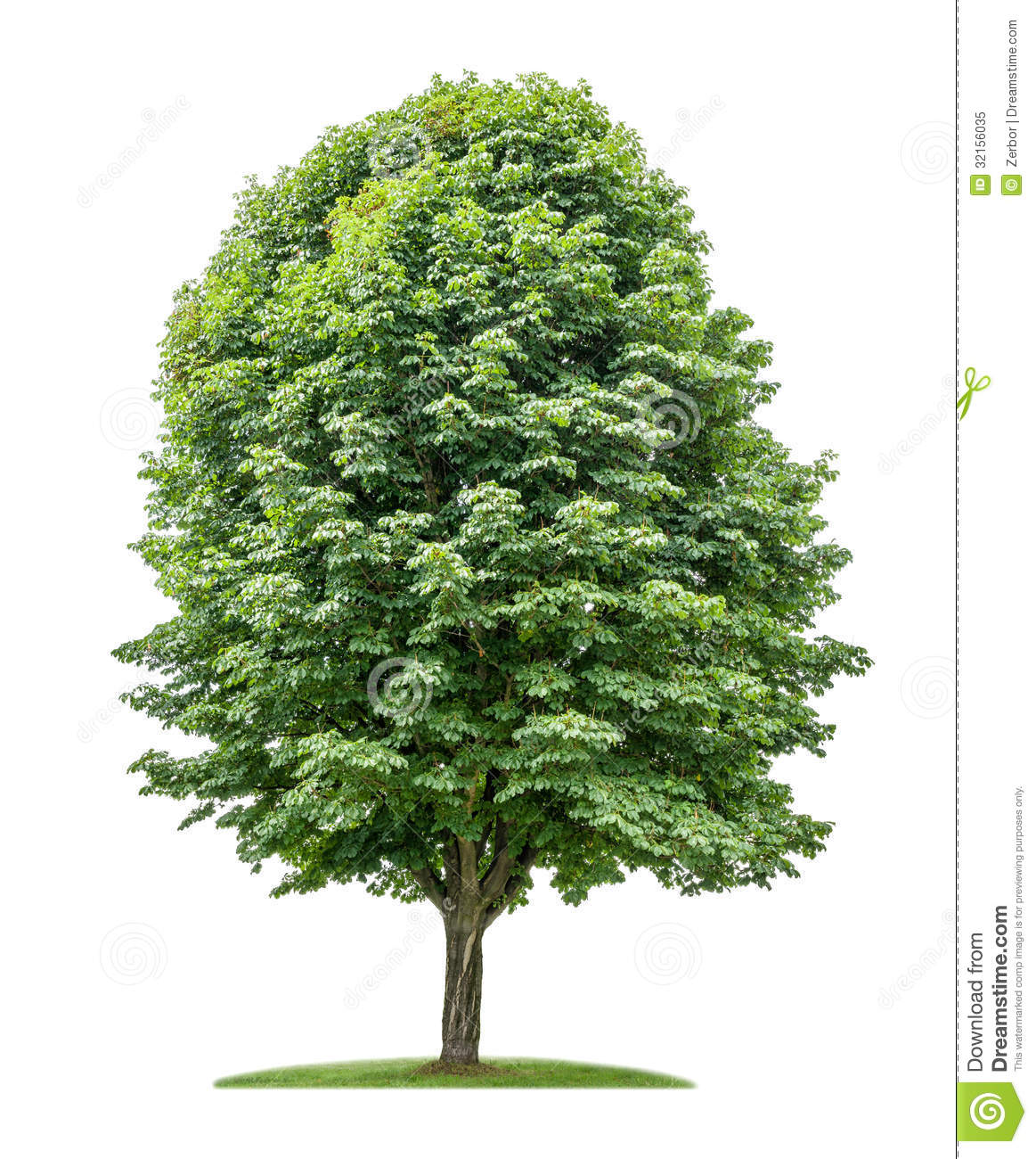 Isolated Horse Chestnut Tree Royalty Free Stock Photo.
