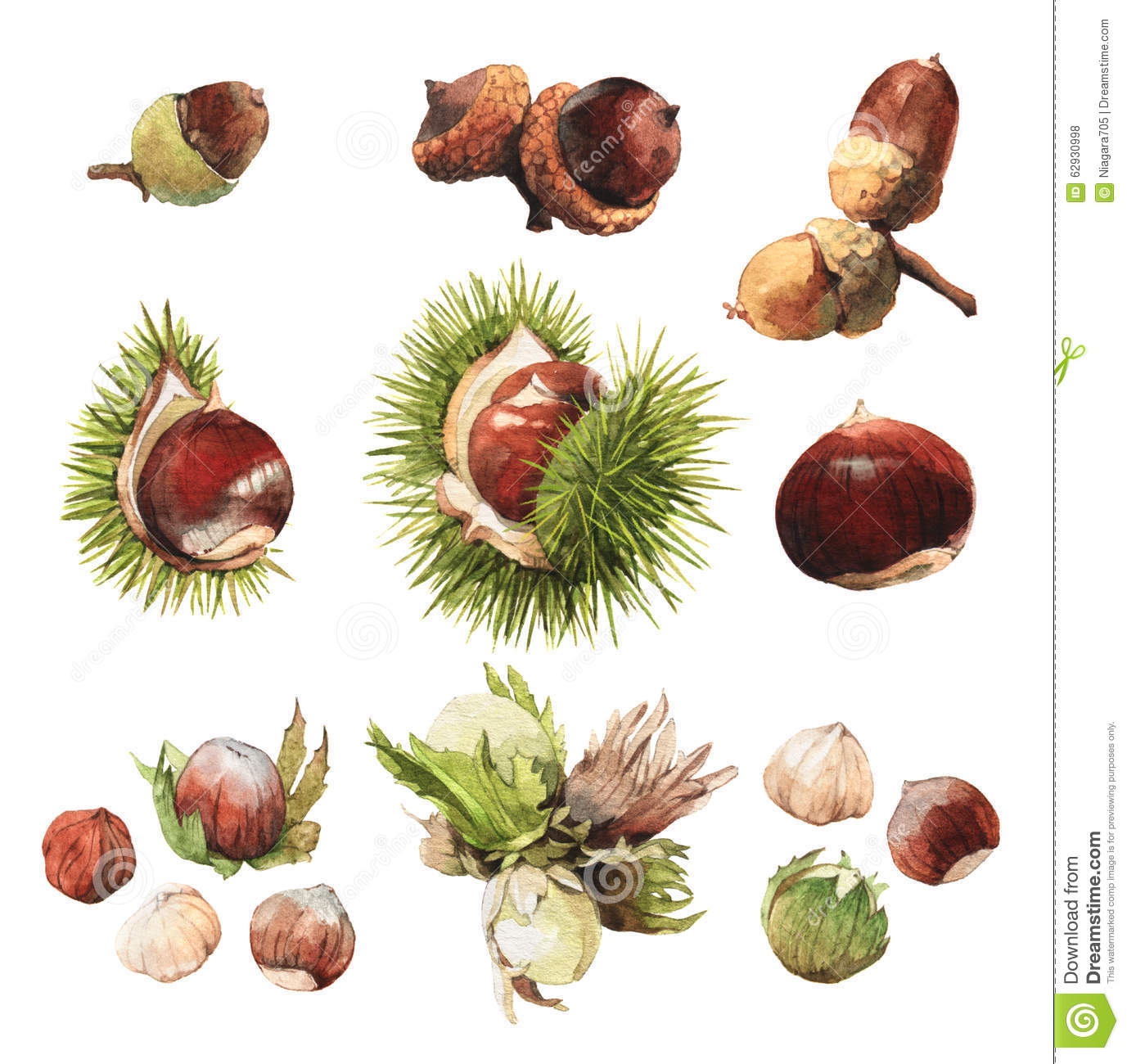 Watercolour Clip Art Illustrations Of True Nuts Stock Illustration.