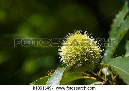 Picture of green american chestnut k10915497.