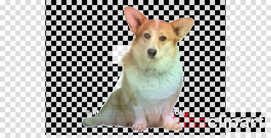 dog welsh corgi pembroke welsh corgi dog breed cardigan.