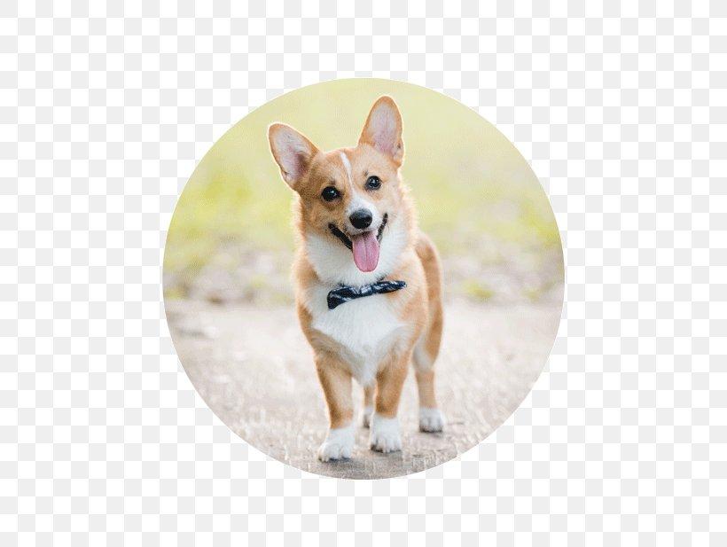 Pembroke Welsh Corgi Cardigan Welsh Corgi Puppy Dog Breed.