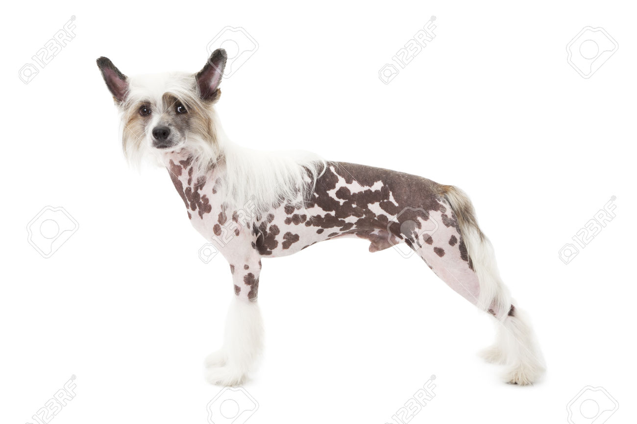 Bald Dog Stock Photos Images. Royalty Free Bald Dog Images And.