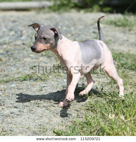 Hairless Terrier Stock Photos, Royalty.