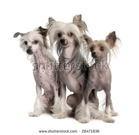 Hairless Dog Stock Images, Royalty.