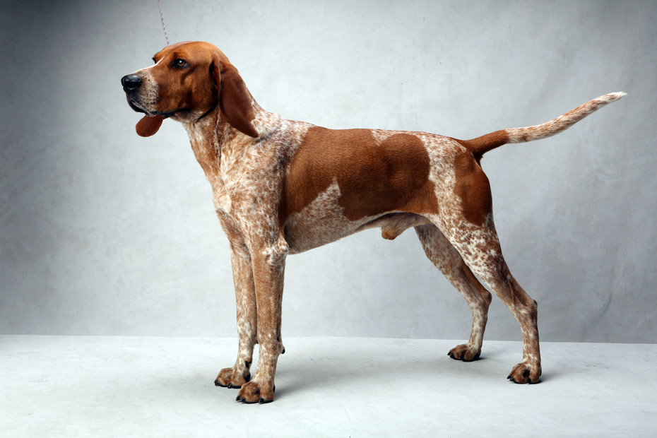 Images: English Redtick Coonhound Puppies.