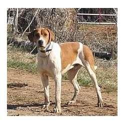 American English Coonhound BEAUTIFUL.
