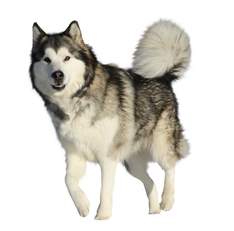 American eskimo clipart translucent clipart images gallery.