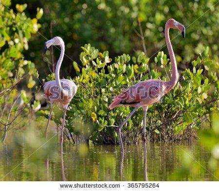American Flamingo Stock Photos, Royalty.