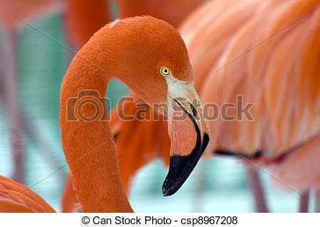 Pictures of American Flamingo (Phoenicopterus ruber) csp8967208.