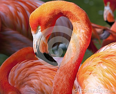 American Flamingo (Phoenicopterus Ruber) Stock Photo.