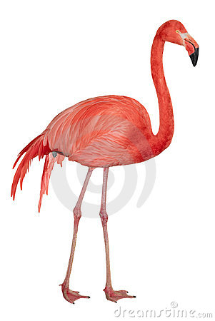 American Flamingo Cutout Royalty Free Stock Photos.