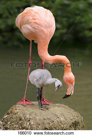 Stock Photography of American Flamingo and chick / Phoenicopterus.