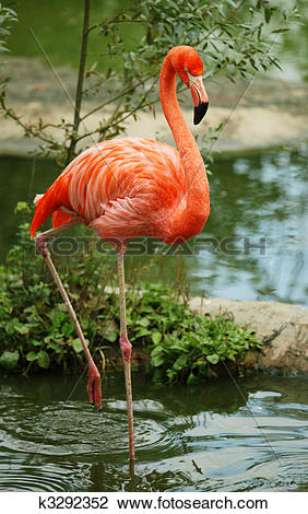 Stock Photo of American Flamingo k3292352.