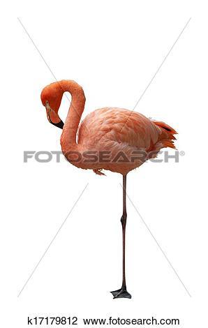 Stock Photo of Isolated American Flamingo k17179812.