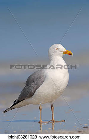 "Pictures of ""American Herring Gull or Smithsonian Gull (Larus."
