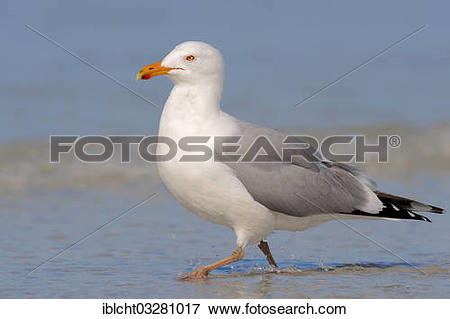 "Picture of ""American Herring Gull or Smithsonian Gull (Larus."